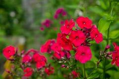 开花的福禄考在庭院里 库存图片