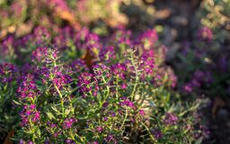 开花的秋天庭院在清早 紫色淡紫色 库存照片