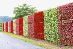 开花的秋海棠开花墙壁庭院湖Kawaguchiko,山,日本 免版税库存照片