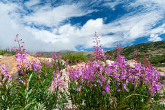 开花的科罗拉多夏天野花 库存图片