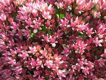 开花的突出的sedum景天属 库存照片