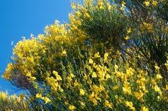 开花的笤帚植物 免版税库存照片