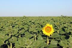 开花的第一个向日葵 免版税库存图片