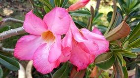 开花的粉红白花 库存图片