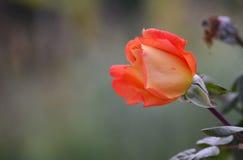 开花的粉红色上升了 库存照片