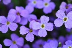 开花的紫罗兰色蓝色花 花蓝色背景 选择聚焦 免版税库存照片