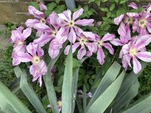 开花的紫罗兰色铁线莲属美丽的花  大灌木在庭院里 美丽的紫色开花 免版税库存照片