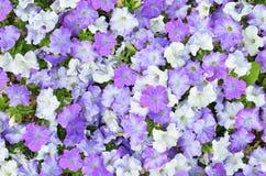 开花的紫色喇叭花 免版税库存照片