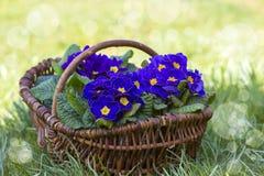 开花的紫色报春花 库存照片