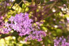 开花的紫色淡紫色灌木 免版税库存图片