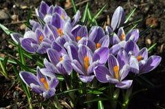 开花的紫色番红花在早期的春天 番红花Striped国王 库存照片