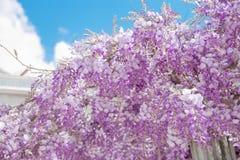 开花的紫藤开花在蓝天,自然backg的紫色曲拱 免版税库存图片