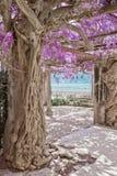 开花的紫藤树,花紫色曲拱自然背景 O 免版税库存图片