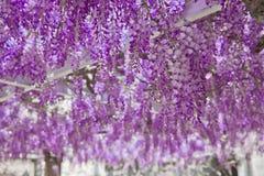 开花的紫藤花紫色曲拱自然背景 图库摄影