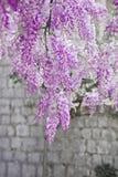 开花的紫藤花紫色曲拱自然背景 库存图片