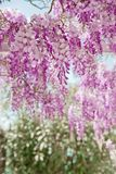 开花的紫藤花紫色曲拱自然背景 免版税库存照片