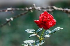 开花的红色上升了 库存图片
