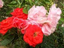 开花的红色和桃红色玫瑰在花园里 免版税库存照片