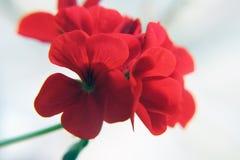 开花的红色大竺葵 免版税库存照片