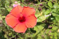 开花的红色木槿花 免版税库存图片