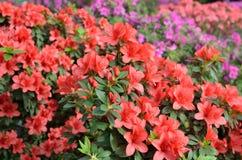 开花的红色杜娟花 库存照片