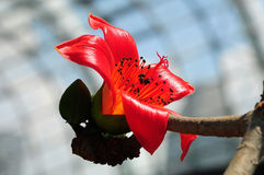 开花的红色棉花树 免版税库存照片