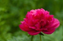 开花的红色牡丹аgainst模糊的绿色叶子背景  库存图片