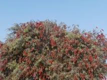 开花的红色结构树 免版税库存照片