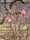 开花的红色花在春天 免版税图库摄影