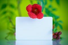 开花的红色花Campsis 免版税库存照片