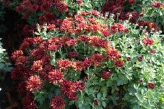 开花的红色菊花morifolium在11月 免版税图库摄影