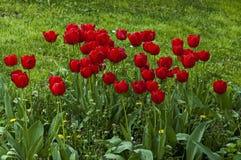 开花的红色郁金香在春天,索非亚 免版税库存照片