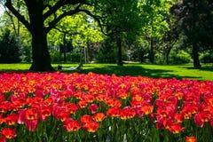 开花的红色郁金香在Rathauspark在维也纳,奥地利 免版税库存图片