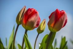 开花的红色郁金香 库存照片