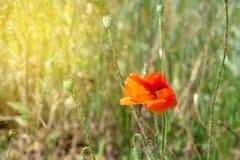 开花的红色鸦片在一个晴朗的草甸 r 图库摄影