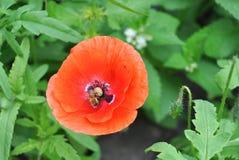 开花的红色鸦片开花与一只授粉的蜂蜜蜂 免版税库存图片