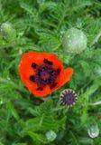 开花的红色鸦片的美丽的花在庭院里 免版税库存照片
