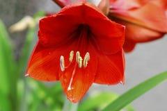 开花的红色amarilis和水下落在雨以后 免版税库存照片