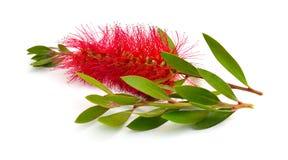 开花的红色Melaleuca、paperbarks、蜂蜜加州桂或者茶树,洗瓶刷 r 库存照片