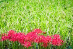 开花的红蜘蛛百合和米 免版税库存图片