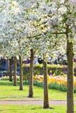 开花的结构树在公园 免版税图库摄影
