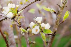 开花的结构树早午餐照片与白花的 库存图片