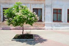 开花的结构树 图库摄影