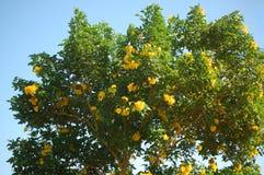 开花的结构树 免版税库存图片