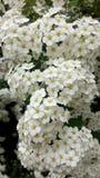 开花的绣线菊类的植物vanhouttei宏观照片 在灌木的白花 免版税库存照片