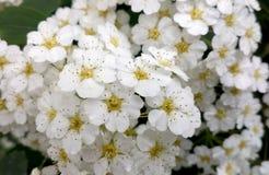 开花的绣线菊类的植物vanhouttei宏观照片 在灌木的白花 库存照片