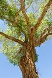 开花的绿色板簧结构树 免版税库存图片
