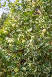 开花的绿色苹果树法院 免版税库存照片