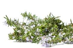 开花的罗斯玛丽植物在白色 免版税库存照片