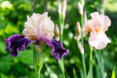 开花的美丽的乳脂状紫色虹膜在庭院里开花 爱 库存图片